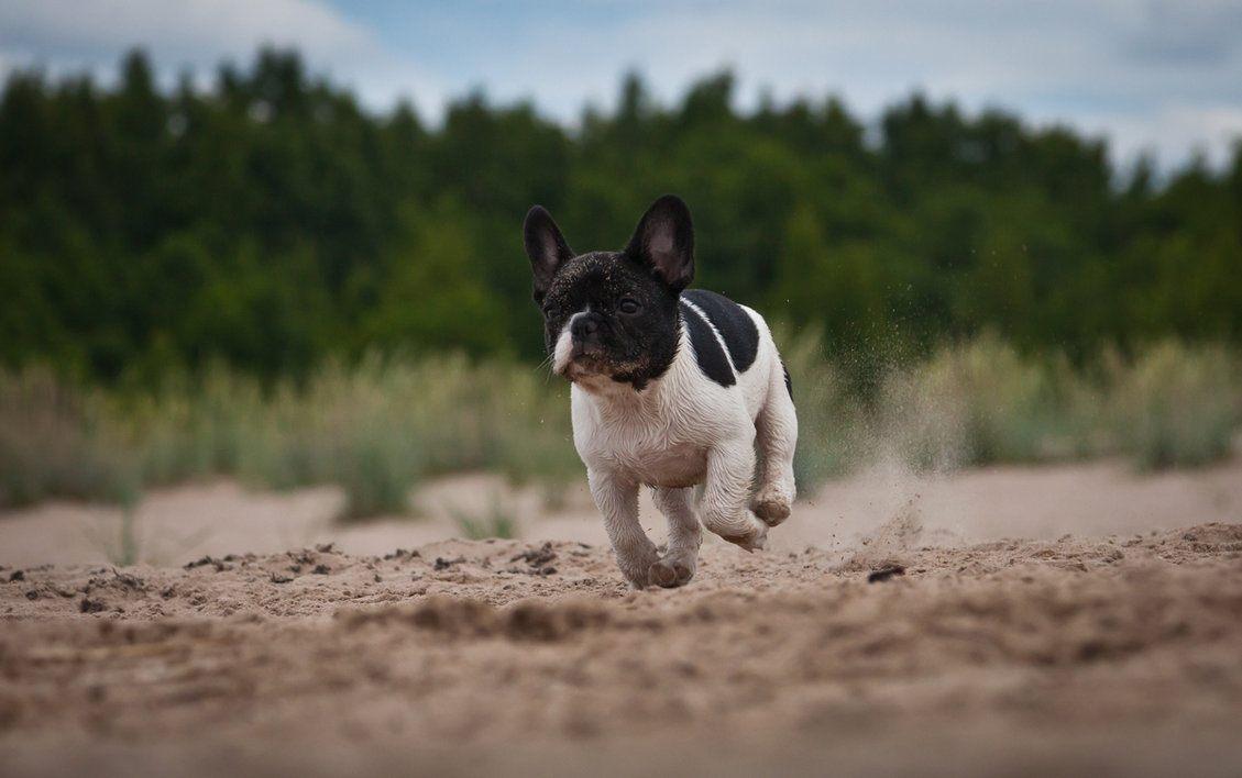 Bulldog francês a correr :: Fotos e imagens