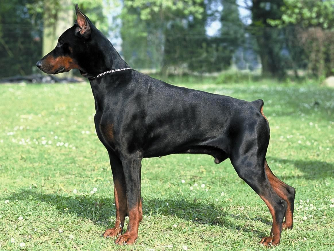 Corpo do Dobermann