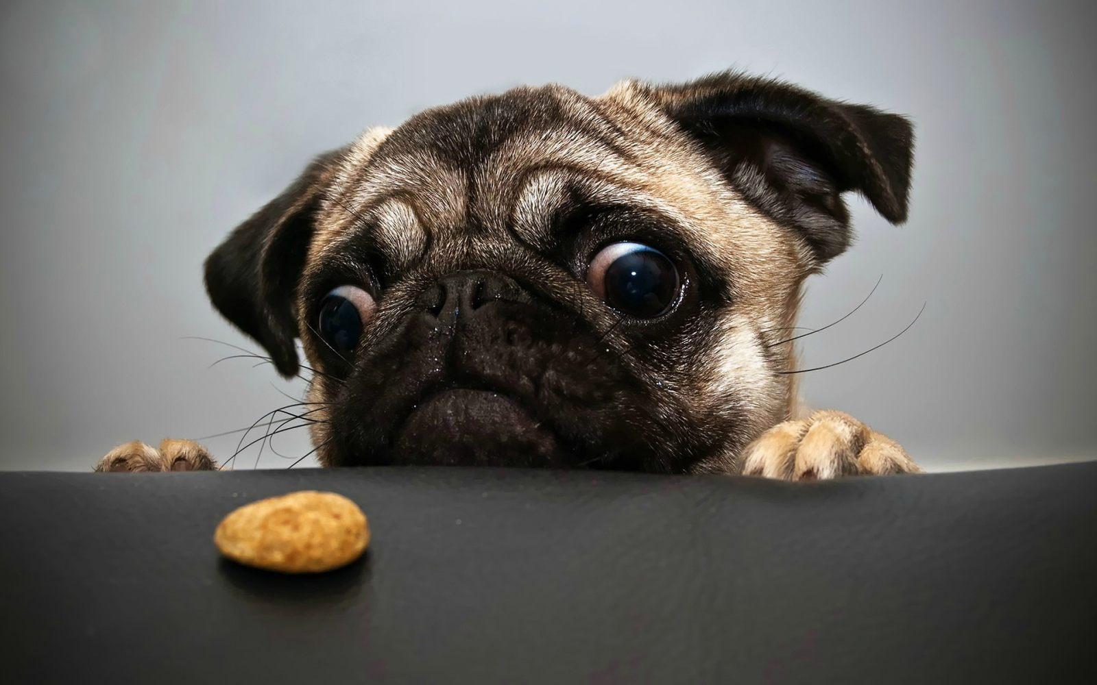 Galeria de fotos e imagens: Pug