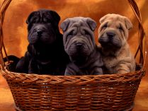 Cores do Shar Pei
