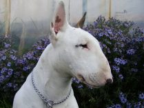 Focinho do Bull Terrier
